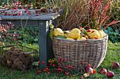 Korb mit frisch gepflückten Quitten neben Bank im Garten, Drahtkorb mit Maronen, Zweig mit Hagebutten und Äpfel