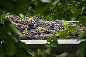 Ernte von unreifen Trauben für die Herstellung von Verjus