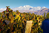 A vineyard in Cheval des Andes, Argentina