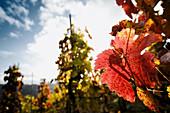 Herbstblätter am Rebstock