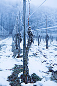 Winter at the Martin Wassmer vineyard, Markgräflerland region, Baden, Germany