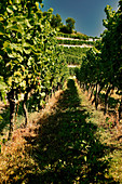 Vineyard landscape, Kaiserstuhl, Baden, Germany