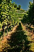 Weinlandschaft, Kaiserstuhl, Baden, Deutschland