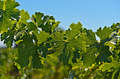 Vine leaves, Cathy Corison Winery, Napa Valley, California, USA