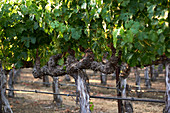 Vines, Napa Valley, California, USA