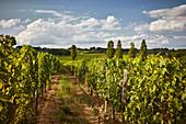 Weinlandschaft, Weingut Chateau Cap de Faugeress, Bordeaux, Frankreich