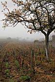 Weinlandschaft, Meo Camuzet, Burgund, Frankreich