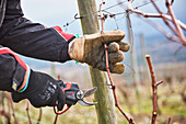 Vines being pruned, Domaine de Baronarques, Limoux, Languedoc, France