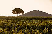 Weinlandschaft, Ornellaia, Masseto Bolgheri, Toskana, Italien