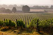 Lungarotti Rubesco, vineyard landscape with vines, Umbria, Italy