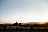 Vineyard landscape and Pieve Santa Restituta Gaja, Montalcino, Tuscany, Italy