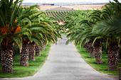 Vineyard landscape and a palm tree-lined driveway to Herdade Grous, Alentejo, Portugal