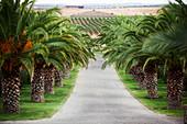 Weinlandschaft und mit Palmen gesäumte Zufahrt zu Herdade Grous Alentejo, Portugal