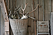 An arrangement of antlers in a wicker basket