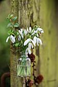 Kleiner Strauß aus Schneeglöckchen in Glasflasche an Baumstamm gehängt