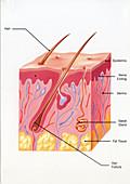 Skin anatomy, illustration