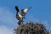 Osprey at its nest