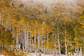 Quaking aspen trees (Populus tremuloides) in autumn