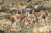 Herd of wild guanacos