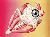 Muscles of the eye, illustration
