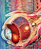 Eye anatomy, illustration
