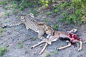 Cheetah feeding on kudu calf