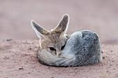 Cape fox adult resting at dusk