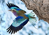 Lilac-breasted roller with wings open