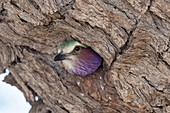 Lilac-breasted roller in its nest