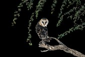 Western barn owl perched at night