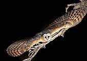 Western barn owl taking off
