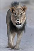 Adult african lion walking