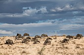 Blue wildebeest grazing in the Kalahari