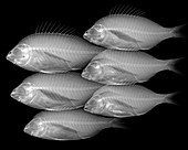 Shoal of fish, X-ray