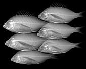 Shoal of fish, X-ray
