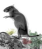 Rat, X-ray