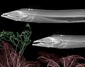 Scabbard fish, X-ray