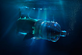 Shark with face trapped in plastic water container