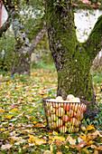 Korb mit frisch gepflückten Äpfeln im herbstlichen Garten