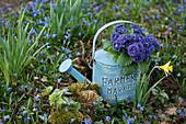 Gefüllte Primel Belarina 'Baltic Blue' in Gießkanne zwischen verwilderten Blausternchen im Garten