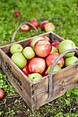 Frisch gepflückte Äpfel in Holzkiste