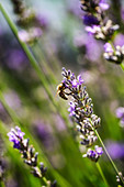 Wild bee on lavender blossom