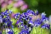 Blau-weiß blühende Akelei 'Himmelblau'