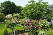 Rosenstämmchen mit historischen Rosensorten im Rundbeet mit Buchshecke