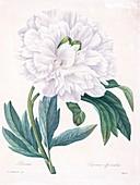 Peony (Paeonia officinalis), 19th century illustration
