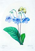 Gloxinia flower, 19th century illustration