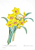 Daffodil (Narcissus tazetta), 19th century illustration