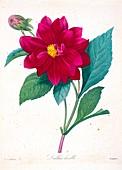 Double Dahlia flower, 19th century illustration
