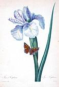 Spanish iris (Iris xiphium), 19th century illustration