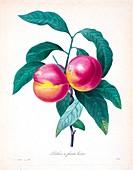 Peaches, 19th century illustration